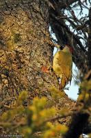 Picus viridis, European green woodpecker; Gröngöling