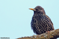 Sturnus vulgaris; Common starling; Stare
