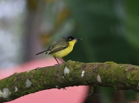 Todirostrum cinereum; Common tody-flycatcher; Vanlig todytyrann