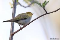 Phylloscopus sibilatrix; Wood warbler; Grönsångare
