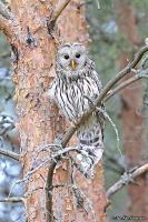 Strix uralensis; Ural owl; Slaguggla