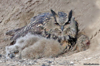 Bubo bubo; Eurasian eagle-owl; Berguv