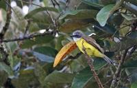 Tyrannus verticalis; Western kingbird; Västlig kungstyrann