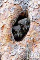 Aegolius funereus; Boreal owl [Tengmalm's owl]; Pärluggla