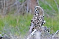 Strix nebulosa; Great grey owl; Lappuggla