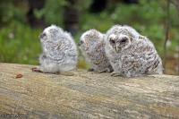 Strix aluco; Tawny owl; Kattuggla