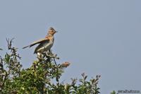 Alauda arvensis; Eurasian skylark; Sånglärka