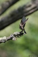 Muscicapa striata; Spotted flycatcher; Grå flugsnappare
