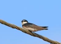 Tachycineta bicolor; Tree swallow; Trädsvala