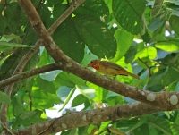 Piranga rubra; Summer tanager; Sommartangara