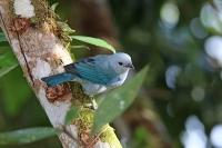 Thraupis episcopus; Blue-gray tanager; Blågrå tangara