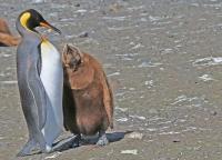 Aptenodytes patagonicus; King penguin; Kungspingvin