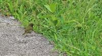 Tiaris olivaceus; Yellow-faced grassquit; Gulstrupig gräsfink