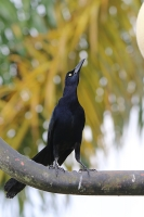 Quiscalus mexicanus; Great-tailed [Mexican] grackle; Mexikobåtstjärt