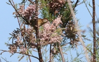 Luscinia megarhynchos; [Common] [Rufous] nightingale; Sydnäktergal