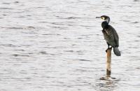 Phalacrocorax carbo; Great cormorant; Storskarv