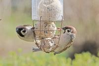 Passer montanus; Eurasian tree sparrow; Pilfink