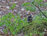 Coccothraustes coccothraustes; Hawfinch; Stenknäck