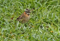 Zonotrichia capensis; Rufous-collared sparrow; Morgonsparv