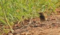 Tiaris olivaceus [pusillus]; Yellow-faced grassquit; Gulstrupig gräsfink