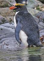 Eudyptes chrysolophus; Macaroni penguin; Makaronipingvin
