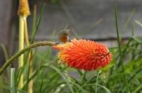 Diglossa baritula; Cinnamon-bellied flowerpiercer; Brunbukig blompickare