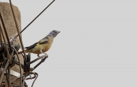 Thraupis abbas; Yellow-winged tanager; Gulvingad tangara