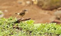 Myiothlypis fulvicauda; Buff-rumped warbler; Vattenskogssångare