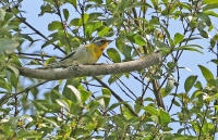 Oreothlypis superciliosa; Crescent-chested warbler; Månbröstad skogssångare