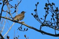 Sturnus vulgaris; Common starling; Stare