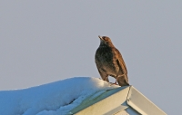 Turdus merula; Common blackbird; Koltrast