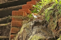 Catharus aurantiirostris; Orange-billed nightingale-thrush; Orangenäbbad skogstrast