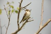 Ficedula hypoleuca; Pied flycatcher; Svartvit flugsnappare