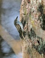 Certhia familiaris; Eurasian [Common] treecreeper; Trädkrypare