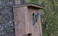 Parus caeruleus; Eurasian blue tit; Blåmes