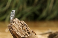 Tachycineta albilinea; Mangrove swallow; Mangrovesvala