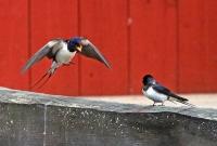 Hirundo rustica; Barn swallow; Ladusvala