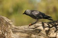Corvus monedula; [Western] jackdaw; Kaja