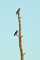 Corvus cornix; Hooded crow [Hoodie]; Grå kråka