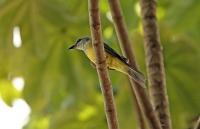 Tyrannus melancholicus; Tropical kingbird; Tropisk kungstyrann