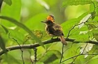 Onychorhynchus coronatus; Amazonian royal flycatcher; Krontyrann [Amazonkrontyrann]