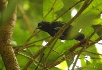 Thamnophilus bridgesi; Black-hooded antshrike; Pärlvingad myrtörnskata