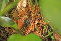 Myrmeciza exsul; Chestnut-backed antbird; Brunryggig myrfågel