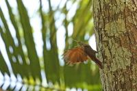 Xiphorhynchus susurrans; Cocoa woodcreeper; Kakaoträdklättrare