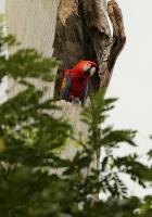 Ara macao; Guacamayo rojo; Röd ara