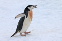Pygoscelis antarcticus; Chinstrap penguin; Hakremspingvin