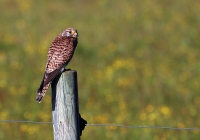 Falco tinnunculus; Eurasian [Common] kestrel; Tornfalk