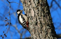Dendrocopos major; Great-spotted woodpecker; Större hackspett