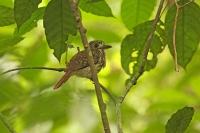 Malacoptila panamensis; White-whiskered puffbird; Vitskäggig trögfågel