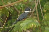 Megaceryle torquata; Ringed kingfisher; Ringkungsfiskare